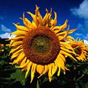 Скачать бесплатно Цветную картинку №0027 для мобильного телефона из раздела Растения, цветы, формат jpg