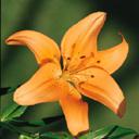 Скачать бесплатно Цветную картинку №0054 для мобильного телефона из раздела Растения, цветы, формат jpg