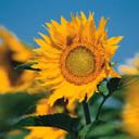 Скачать бесплатно Цветную картинку №0058 для мобильного телефона из раздела Растения, цветы, формат jpg