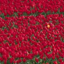 Скачать бесплатно Цветную картинку №0070 для мобильного телефона из раздела Растения, цветы, формат jpg