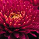 Скачать бесплатно Цветную картинку №0072 для мобильного телефона из раздела Растения, цветы, формат jpg