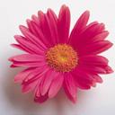 Скачать бесплатно Цветную картинку №0099 для мобильного телефона из раздела Растения, цветы, формат jpg