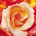 Скачать бесплатно Цветную картинку №0103 для мобильного телефона из раздела Растения, цветы, формат jpg